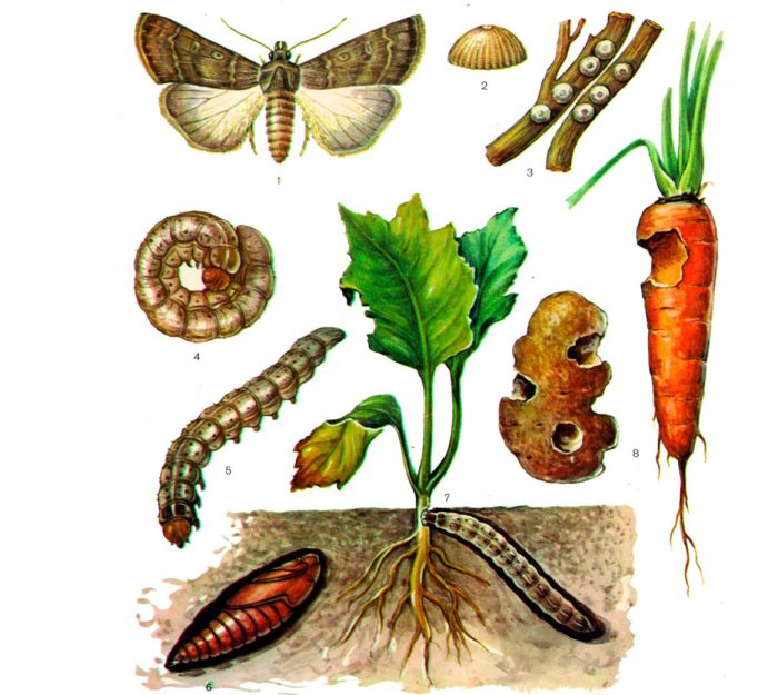 Гусеницы озимой совки