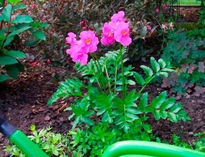 Уход за инкарвиллеей в саду