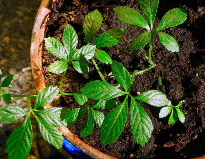 Выращивание гиностеммы пятилистной
