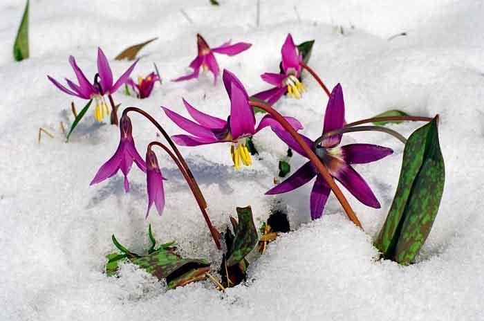 Эритрониум зимой