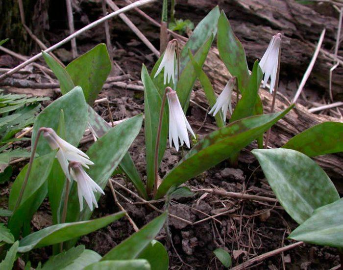 Эритрониум беловатый (Erythronium albidum)