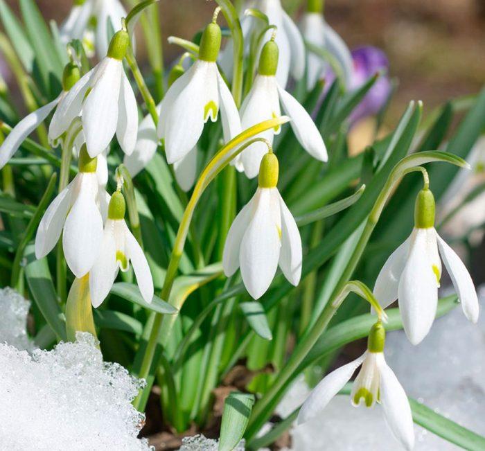 Картинки подснежники весна