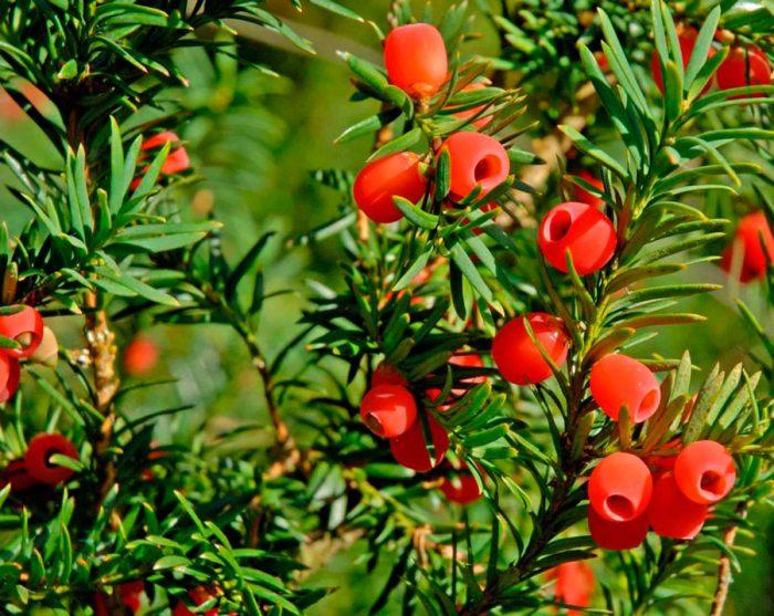 растение тис фото