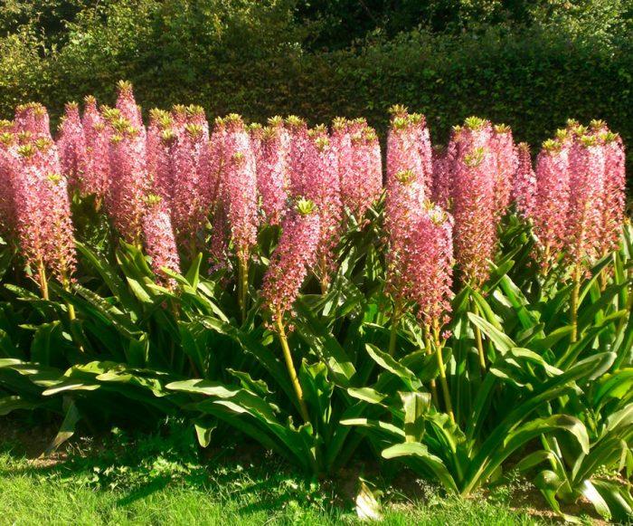 Уход за эукомисом в саду