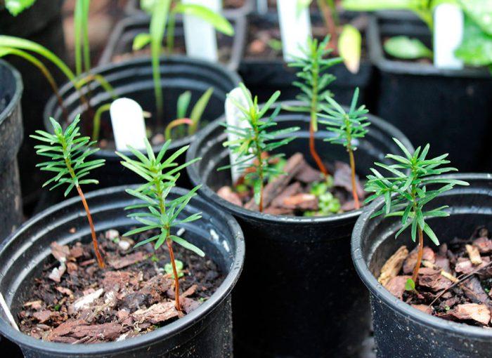 Выращивание тиса из семян