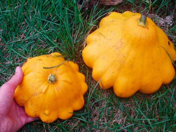 Сорта патиссонов с оранжево-желтой коркой