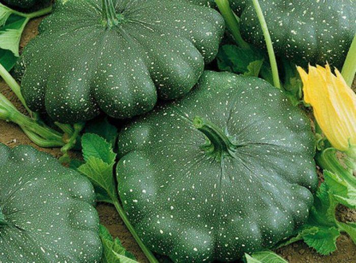 Сорта патиссонов с темно-зелеными плодами