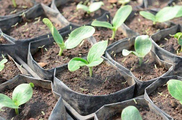 Как вырастить через рассаду