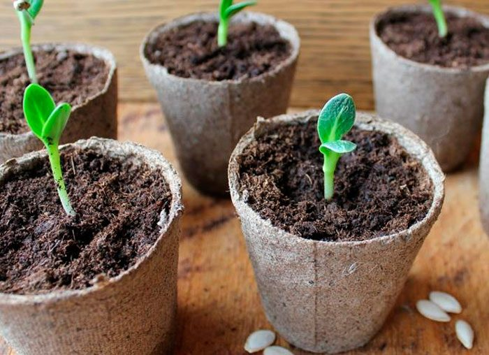 Выращивание огурцов из семян