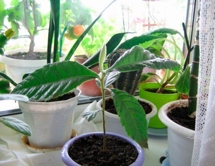 Выращивание мушмулы из косточки
