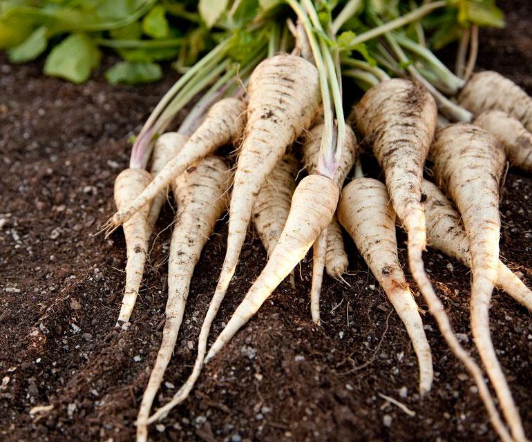 Пастернак овощ  выращивание польза и вред
