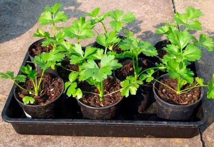 Выращивание рассады петрушки