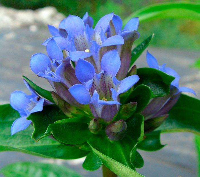 Горечавка крупнолистная (Gentiana macrophylla)
