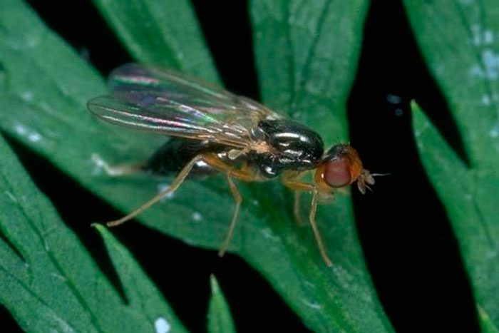 Борщевая (сельдерейная) муха