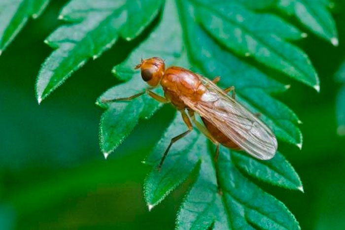 Морковная листоблошка