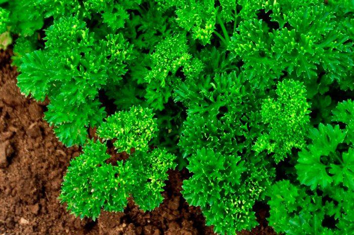 Кудрявые сорта листовой петрушки