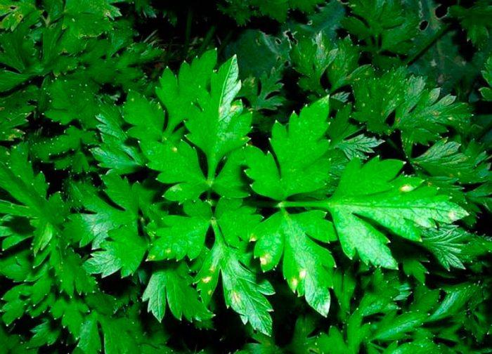 Гладкие сорта листовой петрушки
