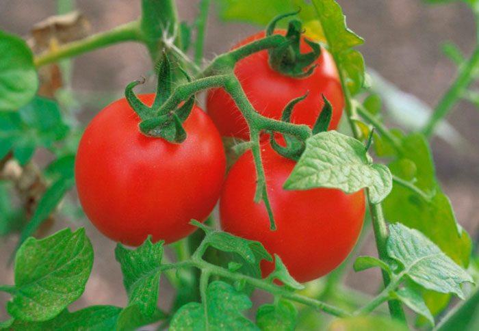 Особенности помидоров