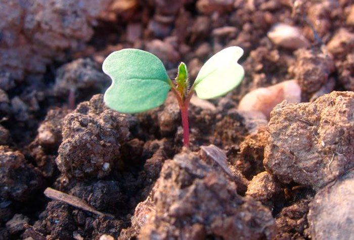 Выращивание турнепса из семян