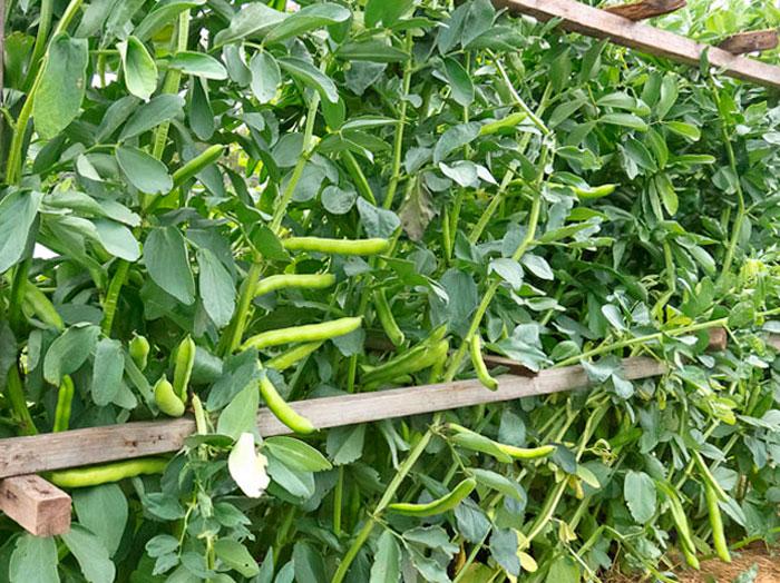 Декоративная фасоль описание сортов выращивание посадка и уход с фото