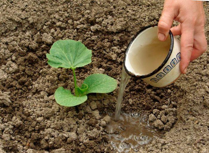 Правила высадки в открытую почву
