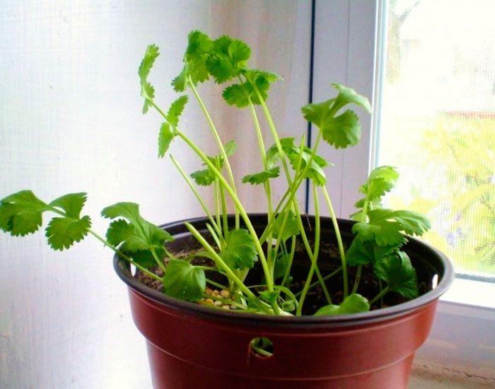 Выращивание кориандра на подоконнике