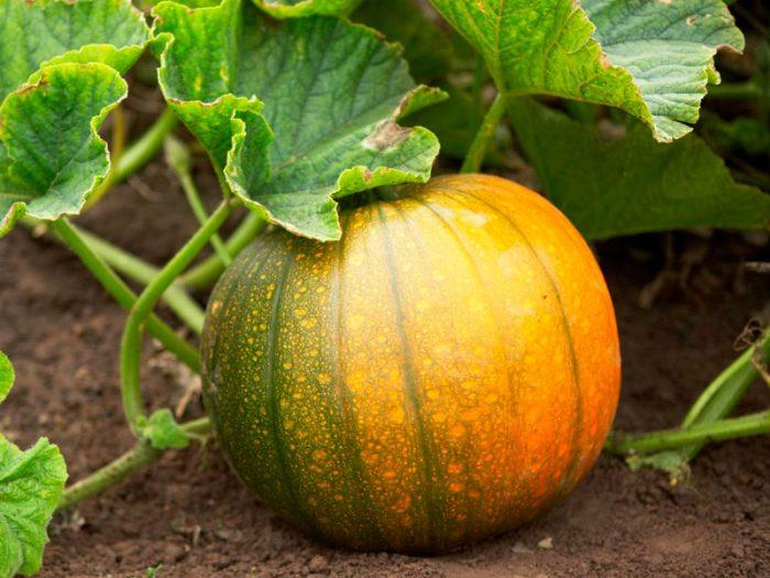 Выращивание тыквы в теплице