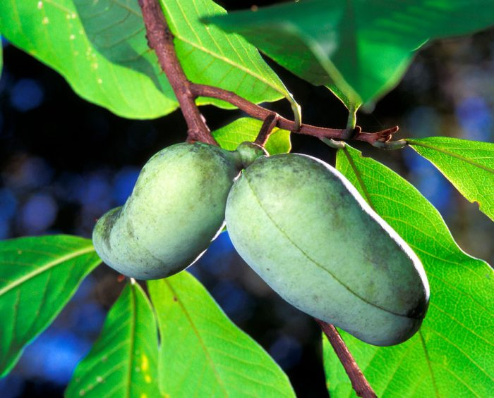азимина растение