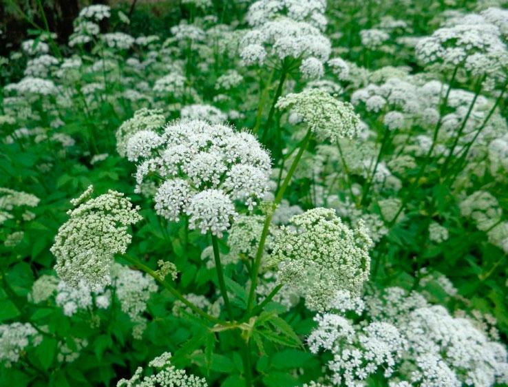 Трава сныть обыкновенная фото полезные свойства лечение