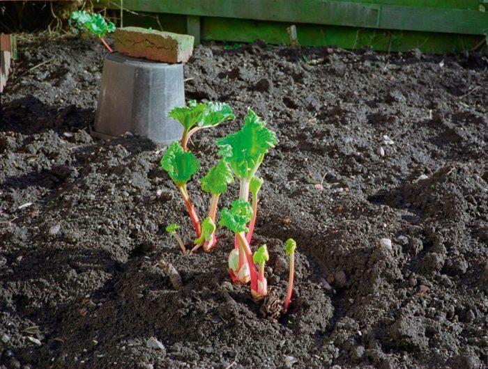 Выращивание ревеня из семян в саду