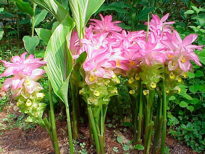 Куркума суматранская (Curcuma sumatrana)