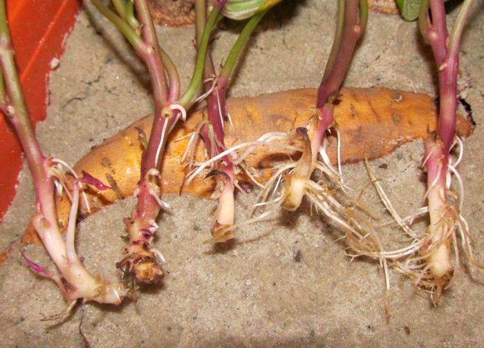 Выращивание батата из семян