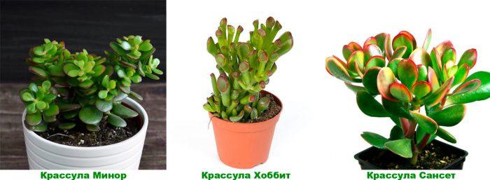 Крассула овальная (Crassula ovata), либо яйцевидная