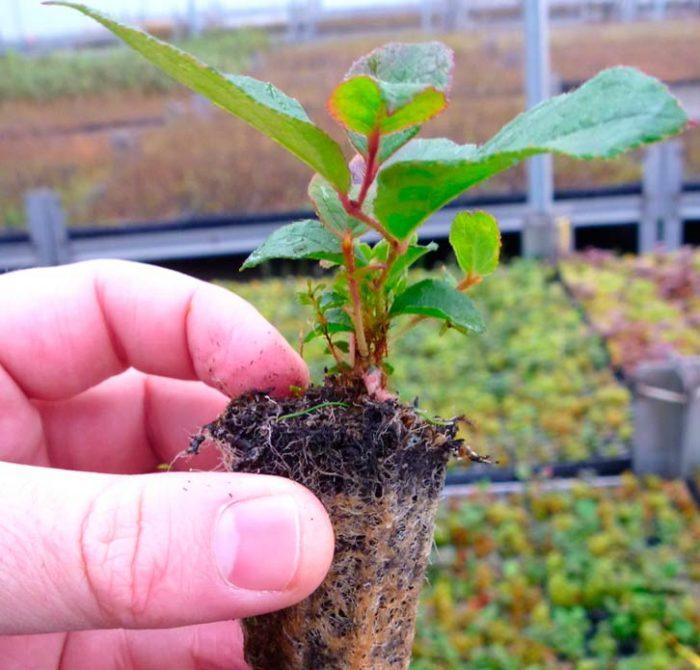 Выращивание гаультерии из семян