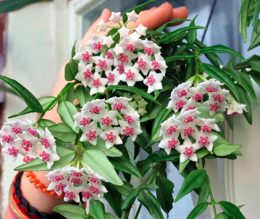 Среди цветов купить хойю, цветы цветной бульвар