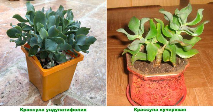 Крассула древовидная (Crassula arborescens)