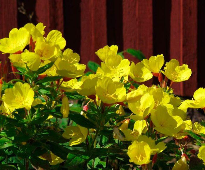 Выращивание энотеры в саду