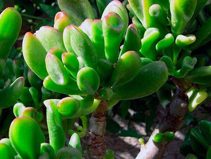 Крассула портулаковая (Crassula portulacea), либо серебристая