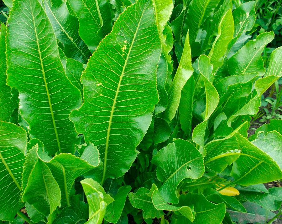 Выращивание хрена, технология посадки и ухода. Посадка и выращивание хрена. Как выращивать хрен на садово-огородном участке.