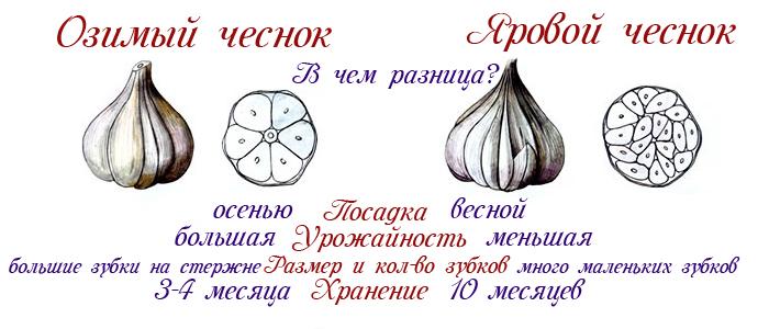 Особенности ярового чеснока