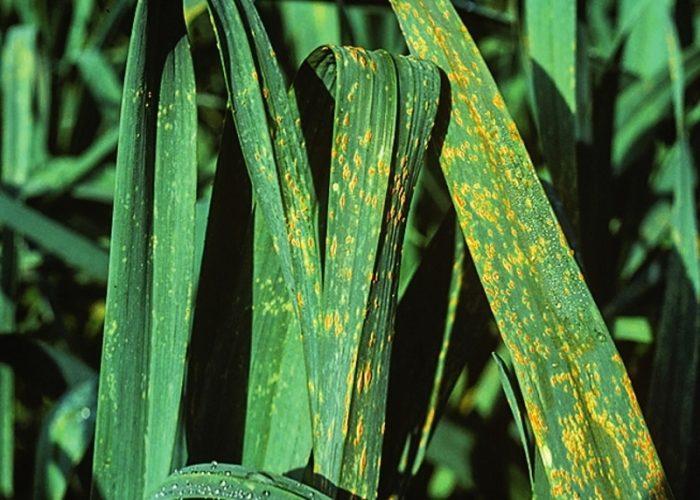 Вредители и болезни лука-порея