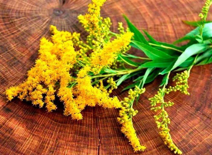 Лечебные свойства золотарника