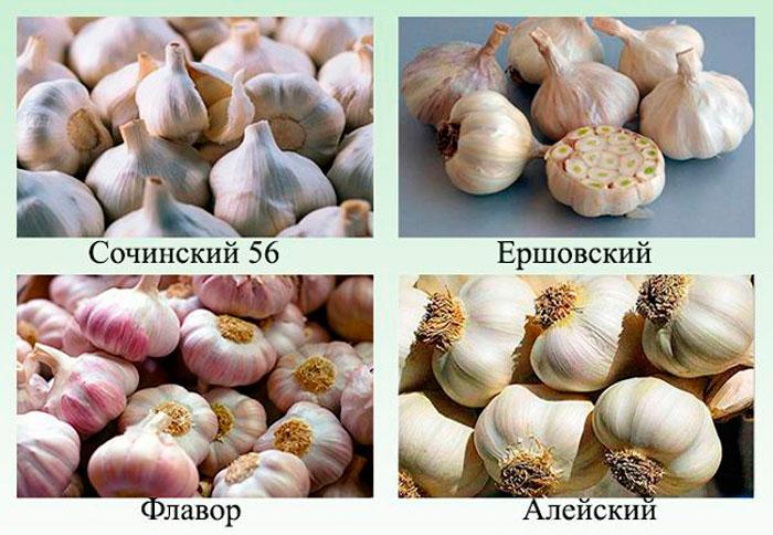 Виды и сорта ярового чеснока