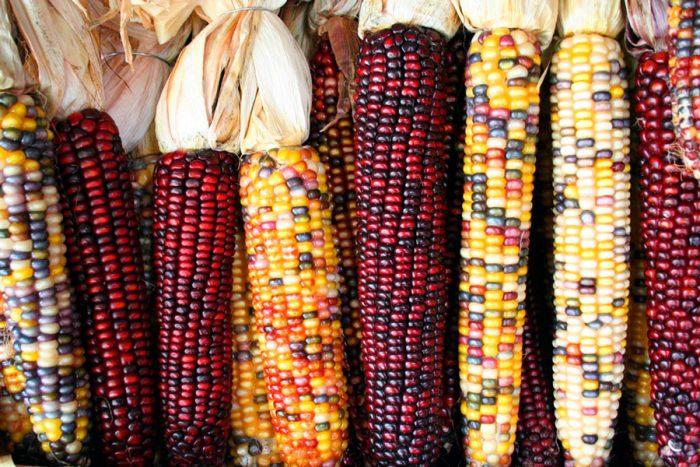 Кукуруза кремнистая