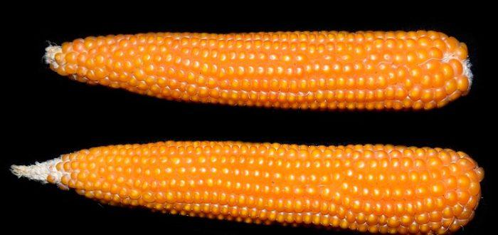 Кукуруза лопающаяся