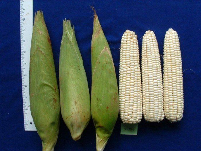 Кукуруза восковидная