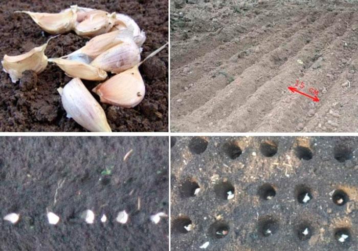 Посадка ярового чеснока в открытый грунт