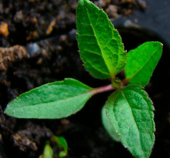 Выращивание гелиопсиса из семян
