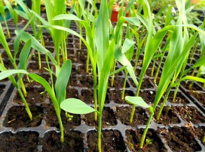 Выращивание рассады кукурузы