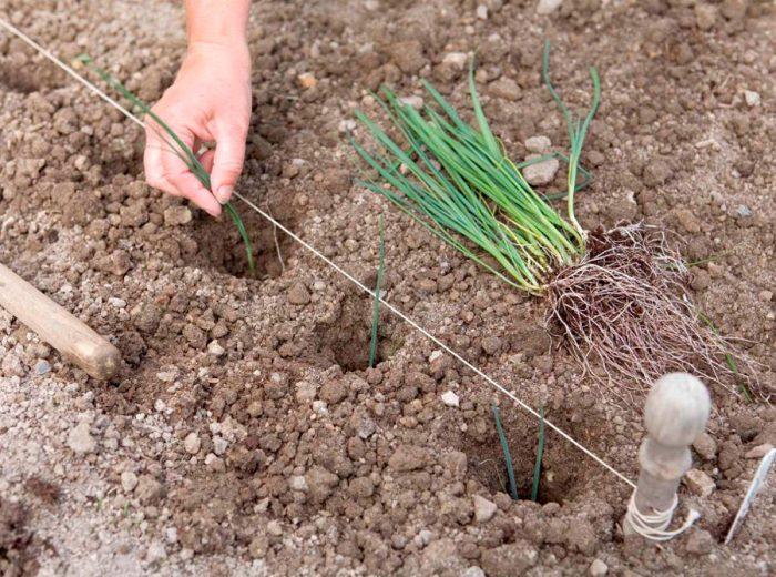 Посадка лука-порея в открытый грунт
